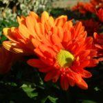 Herbst Chrysantheme rot Chrysanthemum indicum hybriden 01