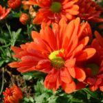 Herbst Chrysantheme rot Chrysanthemum indicum hybriden 02