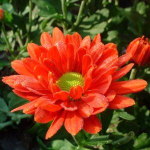Bild: Herbst Chrysantheme rot Chrysanthemum indicum hybriden