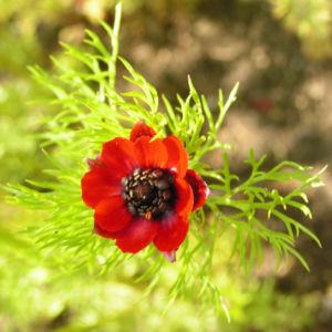 Herbst Feuerroeschen Bluete rot Adonis annua 02