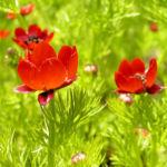 Herbst Feuerroeschen Bluete rot Adonis annua 03