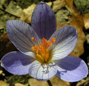 Herbst Krokus Bluete helllila Crocus speciosus 01