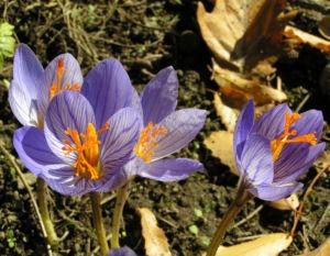 Herbst Krokus Bluete helllila Crocus speciosus 02
