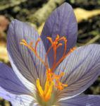 Herbst Krokus Bluete helllila Crocus speciosus 06