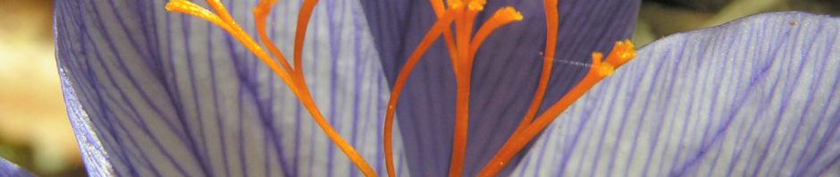 Anklicken um das ganze Bild zu sehen Pracht-Herbst-Krokus Blüte helllila Crocus speciosus