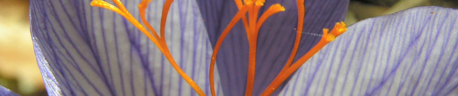 pracht-herbst-krokus-bluete-helllila-crocus-speciosus