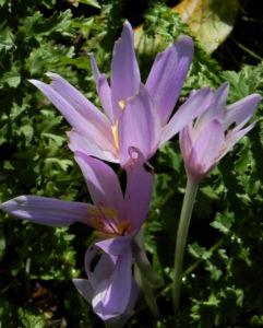 Herbst Zeitlose Bluete weiss pink Colchicum autumnale 02