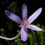 Herbst Zeitlose Bluete weiss pink Colchicum autumnale 04