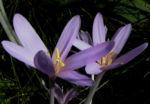 Herbst Zeitlose Bluete weiss pink Colchicum autumnale 05