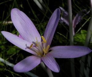 Herbst Zeitlose Bluete weiss pink Colchicum autumnale 06