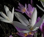 Herbst Zeitlose Bluete weiss pink Colchicum autumnale 08