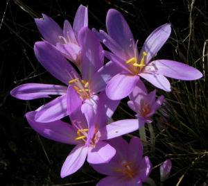Herbst Zeitlose Bluete weiss pink Colchicum autumnale 10