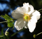 Herbstanemone Bluete weiss Anemone hupehensis 01
