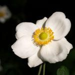 Herbstanemone Bluete weiss Anemone hupehensis 02