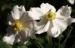 Zurück zum kompletten Bilderset Herbst-Anemone Blüte weiß Anemone hupehensis