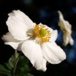 Herbstanemone Bluete weiss Anemone hupehensis 06