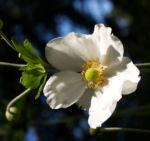 Herbstanemone Bluete weiss Anemone hupehensis 07