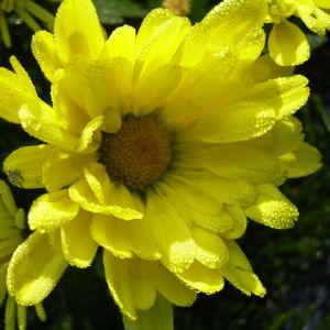 Herbstchrysantheme Winteraster gelb Chrysanthemum Dendranthema 01
