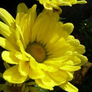Herbstchrysantheme Winteraster gelb Chrysanthemum Dendranthema 02