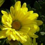 Bild: Herbstchrysantheme Winteraster gelb - Chrysanthemum dendranthema