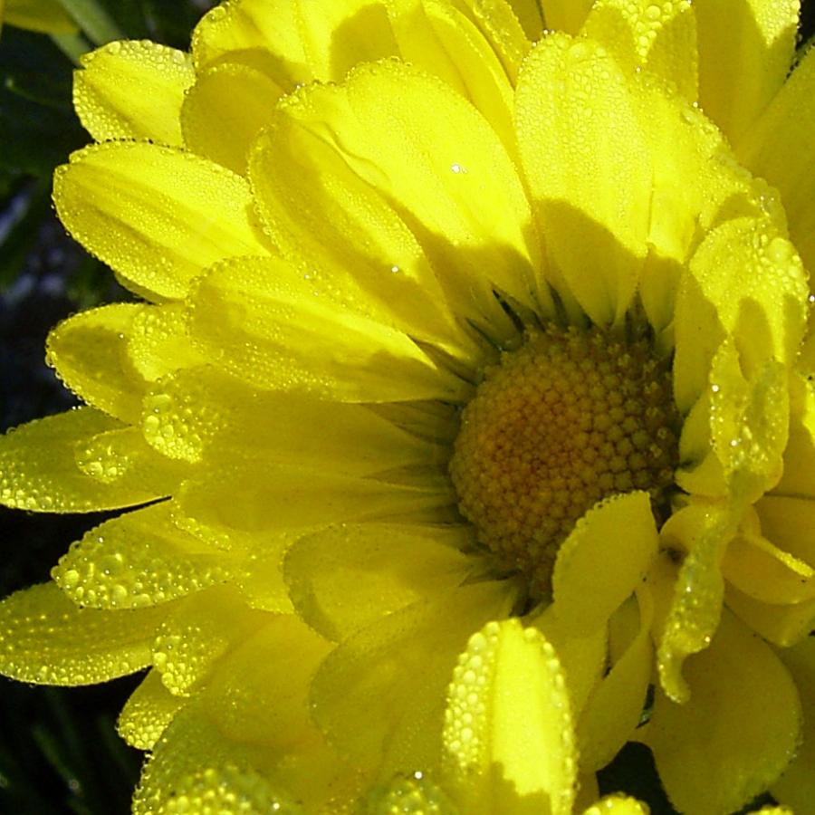Herbstchrysantheme Winteraster gelb Chrysanthemum Dendranthema