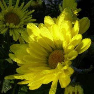Herbstchrysantheme Winteraster gelb Chrysanthemum Dendranthema 05