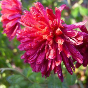 Herbstchrysantheme Winteraster weinrot Chrysanthemum Dendranthema 01