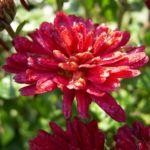 Bild: Herbstchrysantheme Winteraster weinrot - Chrysanthemum dendranthema