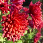 Herbstchrysantheme Winteraster weinrot Chrysanthemum Dendranthema 05