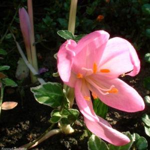 Herbstzeitlose 02 Colchicum autumnale 01