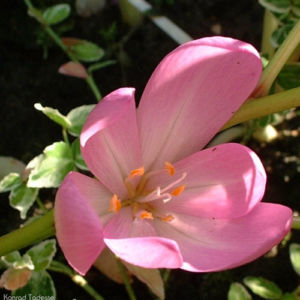 Herbstzeitlose 02 Colchicum autumnale 02
