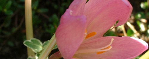 Anklicken um das ganze Bild zu sehen Herbst-Zeitlose Blüte rose Colchicum autumnale