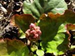 Herzblaettrige Bergenie Bluete pink Bergenia cordifolia 01