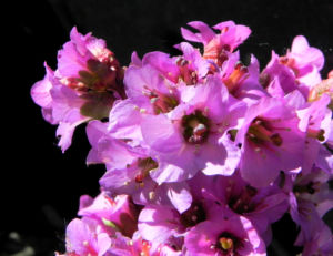 Herzblaettrige Bergenie Bluete pink Bergenia cordifolia 02