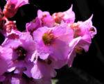 Bild: Herzblättrige Bergenie Blüte pink Blatt grün Bergenia cordifolia