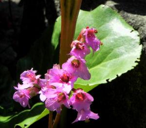 Herzblaettrige Bergenie Bluete pink Bergenia cordifolia 04