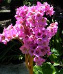 Herzblaettrige Bergenie Bluete pink Bergenia cordifolia 07