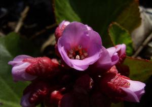 Herzblaettrige Bergenie Bluete pink Bergenia cordifolia 08