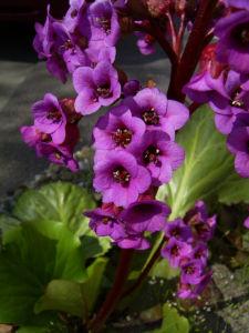 Bild: Herzblaettrige Bergenie Bluete pink Bergenia cordifolia