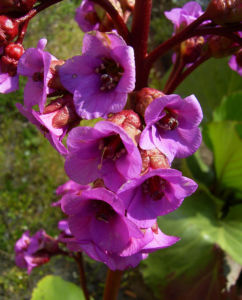 Herzblaettrige Bergenie Bluete pink Bergenia cordifolia 11