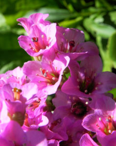 Herzblaettrige Bergenie Bluete pink Bergenia cordifolia 13