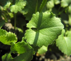 Herzblaettrige Gaemswurz Blatt gruen Doronicum columnae 01