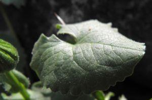 Herzblaettrige Gaemswurz Blatt gruen Doronicum columnae 02