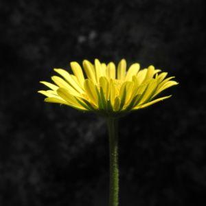 Bild: Herzblaettrige Gaemswurz Bluete gelb Doronicum columnae