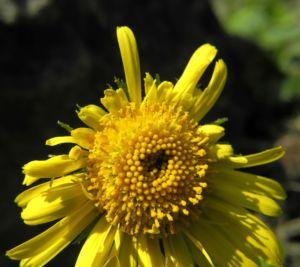 Herzblaettrige Gaemswurz Bluete gelb Doronicum columnae 07