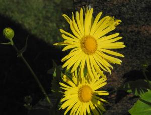 Herzblaettrige Gaemswurz Bluete gelb Doronicum columnae 08