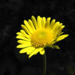 Herzblaettrige Gaemswurz Bluete gelb Doronicum columnae 09