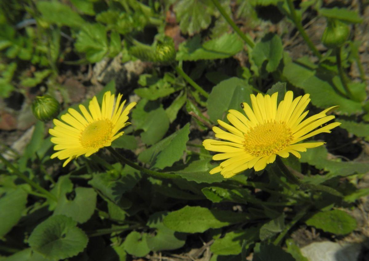 Herzblaettrige Gaemswurz Bluete gelb Doronicum columnae