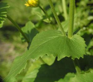 Herzblaettrige Gaemswurz Bluete gelb Doronicum columnae 12