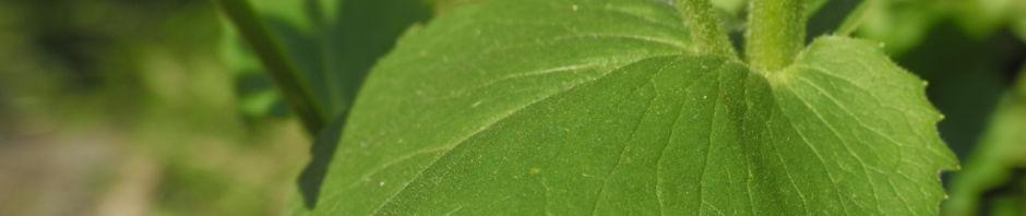 herzblaettrige-gaemswurz-bluete-gelb-doronicum-columnae